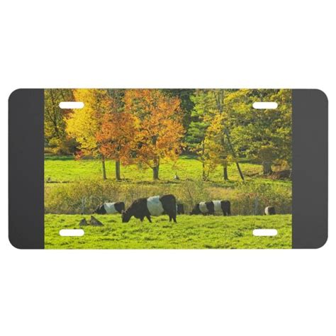 Belted Galloway Cows On Rockport Maine Farm License Plate