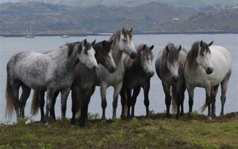 Welcome to the Connemara Pony Breeders Society, Clifden