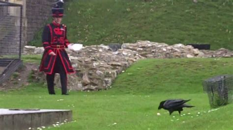 Beefeater feeding the ravens at the Tower of London